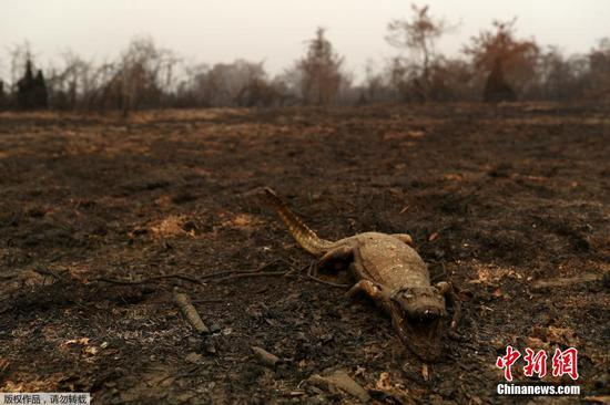 Wildfire burns Brazil's largest wetlands, killing thousands of wild animals
