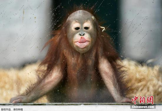 Young orangutan has fun in rainy day