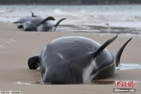 Australia whale stranding: 470 animals now beached in Tasmania record